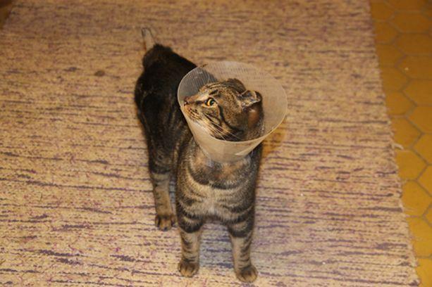 Paleltuneista tassuista kuoriutunut iho on jo palautunut, ja Kit pystyy kävelemään. Häntä ja korvat eivät kuitenkaan koskaan tule takaisin.