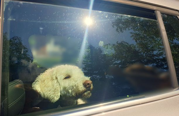 Koiran jättäminen yksin kuumaan autoon on eläinsuojelurikos, poliisi muistuttaa. (Tämä kuva on lavastettu ja koira vieraili kuumassa autossa vain kuvan oton ajan).