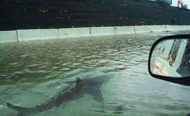 Hai ui tulvivalla moottoritiellä Houstonissa. Sama hai on uinut myös monessa muussa tulvassa.