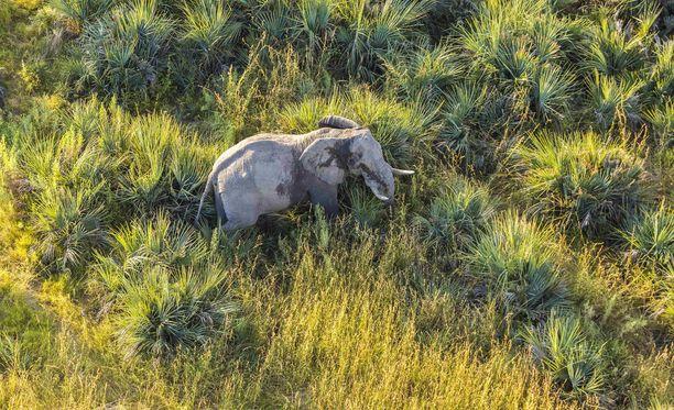 Elephants Without Borders-järjestö havaitsi tapetut norsut ilmakuvauksissa, joilla kartoitetaan norsukantojen kokoa. Kuvituskuva.