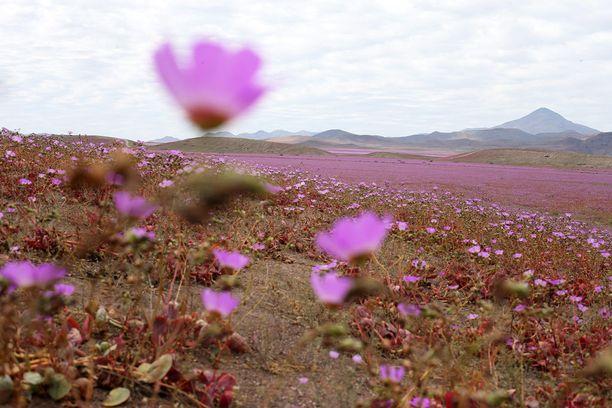 Malvat kukkivat Atacamassa 5-7 vuoden välein.