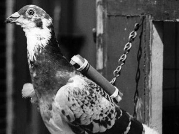 Commando-nimisestä sotakyyhkystä tuli yksi sodan lintusankareista. Se lensi yli 90 salaista lentoa ja palkittiin Dickin-mitalilla.