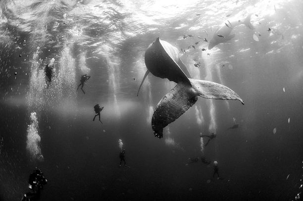Luontokuvien kakkossija, sukeltajia ryhävalaan ympärillä Meksikossa.