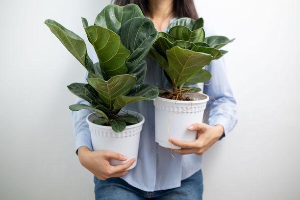 Kyselyssä lyyraviikuna paljastui kasviksi, jota tapetaan eniten.