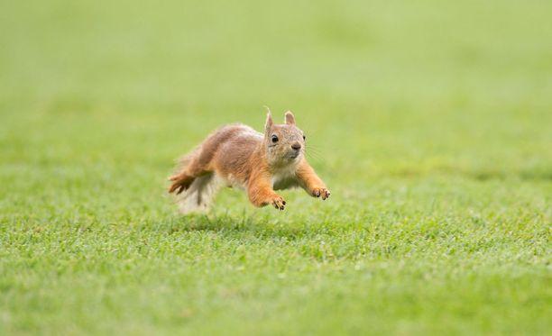 Poliisiraportti ei kerro, oliko siellä sitä oravaa vai ei. Joka tapauksessa kuvan orava ei liity tapaukseen.