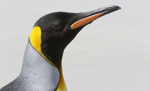 Kanadan Albertan provinssin eläintarhassa kuningaspingviinit on siirretty lämmitettyyn aitaukseen suojaan kovia pakkasia. Kuvituskuva.
