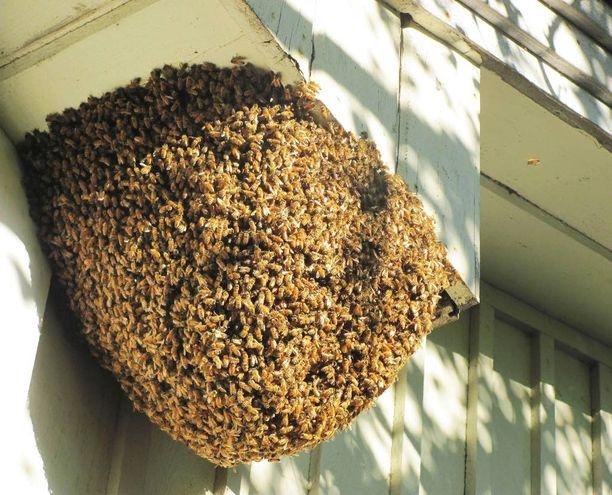 Jättimäinen mehiläispesä oli pituussuunnassa lähes puolimetrinen. Talon asukkaiden mukaan pesä valmistui noin kahden viikon aikana.