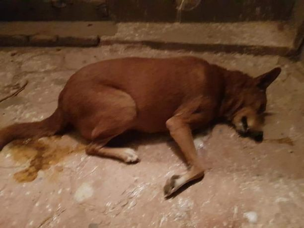 Sosiaalisessa mediassa ihmisiä on kehotettu pitämään koirat kiinni, koska myrkytettyjä lihanpaloja heitetään jopa aidatuille pihoille.