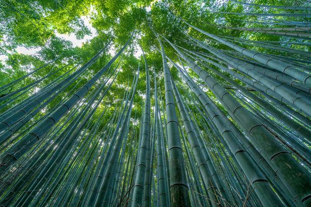 Bambujen lehdet ja rungot synnyttävät tuulessa rauhoittavaa ääntä, joka on jopa listattu osaksi Japanin kansallista äänimaisemaa.