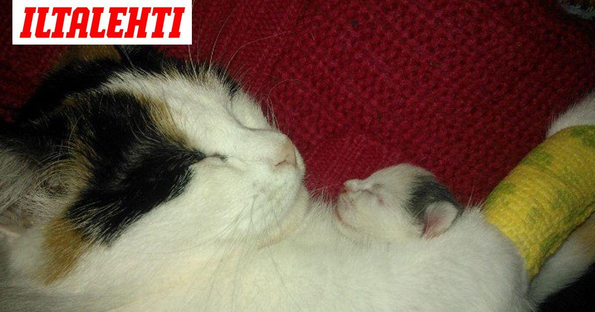 Kissan Synnytys
