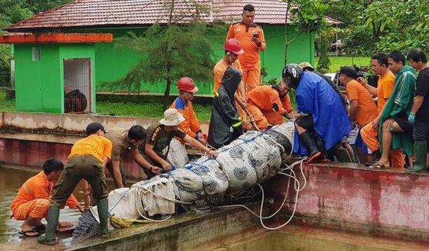 Nukutetun krokotiilin siirtäminen vaati apuun useita kymmeniä ihmisiä. Naisen jäännöksiä arvellaan olevan yhä eläimen sisällä.