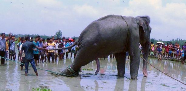 Tulvan kuljettama norsu yritettiin siirtää Bangladeshiin safaripuistoon.