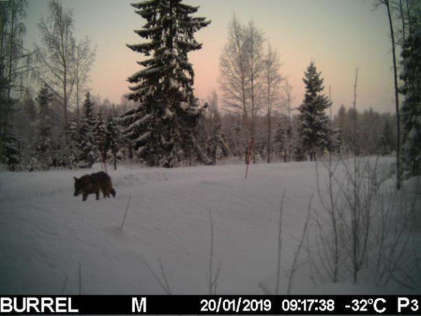 Niina Kiiskisen mukaan susi ei tunnu pelkäävän ihmisiä.