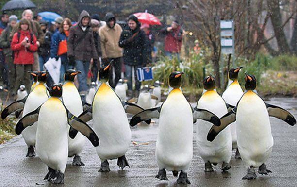Antaa sataa! Baselin eläintarhassa majailevia pingviinejä ei näytä harmittavan, että joulua odotellaan sielläkin vesisateessa.