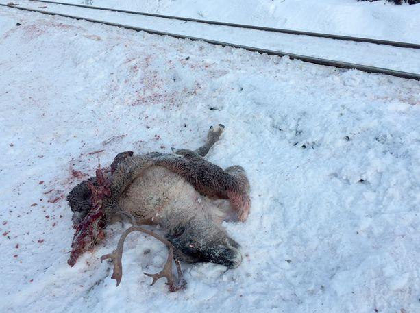 Kuolleita poroja lojui radan varrella.