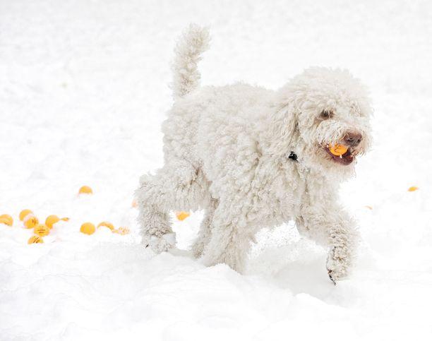 Tässä kuvassa koiralla ei ole suussaan lottokuponkia - vaan lottopallo. Iltalehti on vuosien varrella arponut lottorivejä mitä erilaisemmilla konsteilla. Helmikuussa 2012 kunnian sai tämä koira.