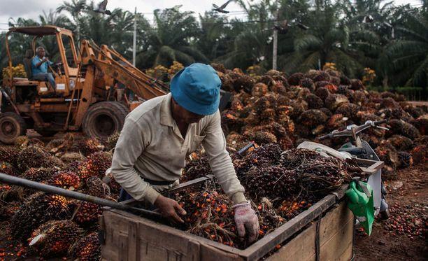 Työntekijä palmuöljyplantaasilla Malesiassa.