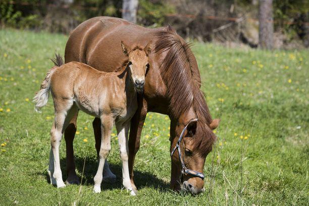 Rotumääritelmän mukaan tavoitteena on jalostaa suomenhevosista monipuolisia käyttöhevosia.