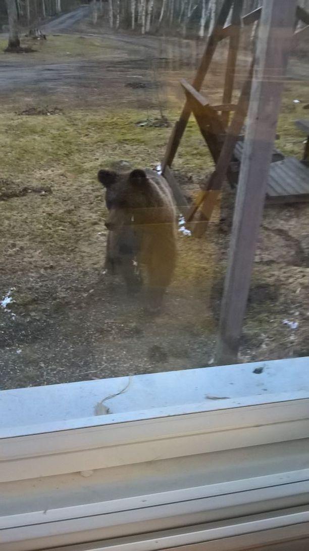 Peloton nuori karhu ilmestyi omakotitalon ikkunoiden alle. Pikkukarhu ei välittänyt koputuksista ikkunaan, vasta automiehen tulo pihaan sai sen poistumaan.