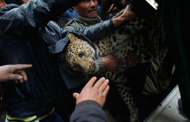 Leopardit eksyvät usein ihmisasumuksiin. Tässä saatiin kiinni Katmandussa taloon eksynyt leopardi.