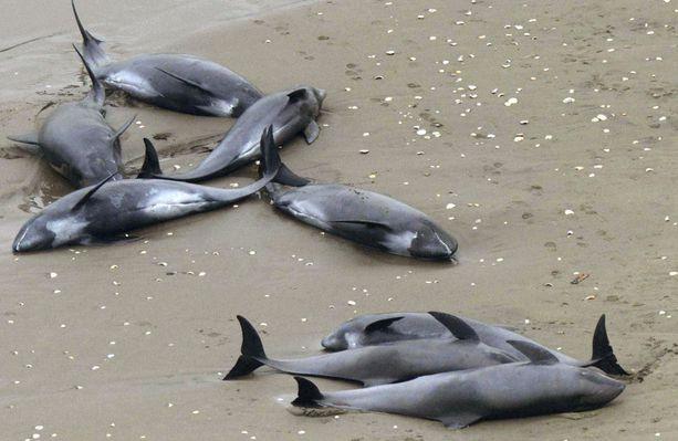 Delfiinien rantautumisen syytä ei tiedetä.