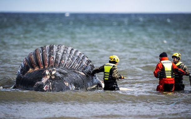 Eläinlääkäriviranomaisen työntekijät tutkivat valaan ruhoa viime perjantaina.