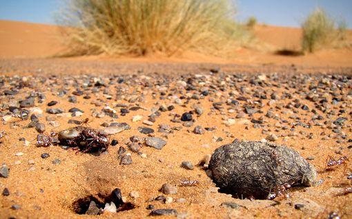 Maailman nopein muurahainen etenee liki metrin sekunnissa – kokoon suhteutettuna Usain Boltin pitäisi taittaa 200 metriä alle sekunnissa