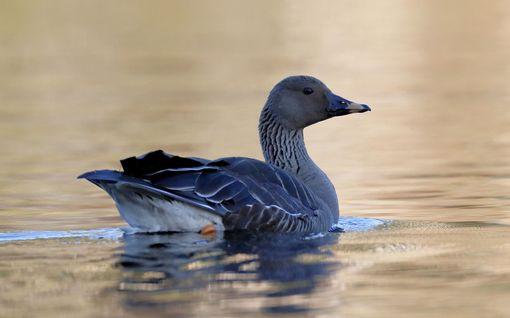 Ilmassa on jo kevään tuntua - lintujen kevätmuutto on alkanut