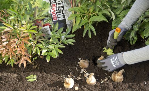 Kukkasipulit ovat myyrien herkkua. Jos tiedät, että pihallasi on myyriä, istuta kukkasipulin mukana kanankakkarakeita tai valkosipulin kynsiä. Niistä myyrä ei pidä.