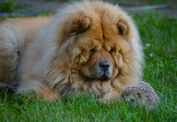 Ozzy-koira ja siili viettivät aikaa nurmikolla omakotitalon pihalla Vaasassa.
