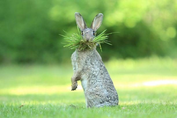 Kuinka paljon mahtuu heinää yhden jäniksen suuhun?