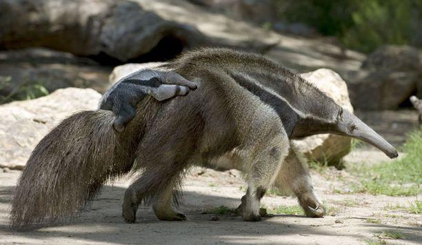 Äidin selässä on mukava ottaa torkut.