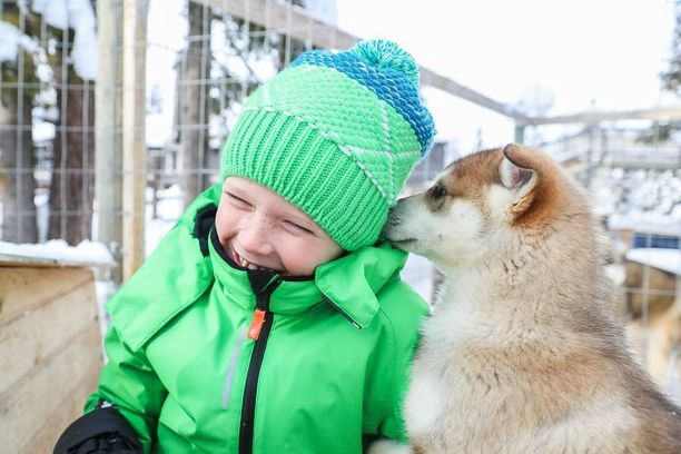 Pienet huskynpennut tervehtivät suomalaista Kostia Lammintuvalla.