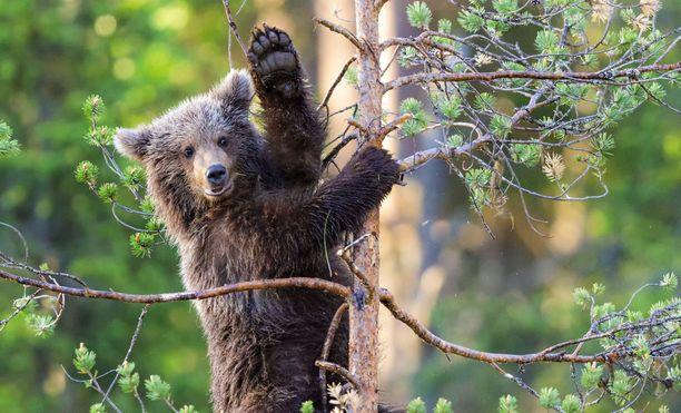 Karhun kiipeilyt tapahtuivat varhain kesäkuisena aamuna. Jo neljän aikaan aamulla karhu härnäsi sisaruksiaan ja kuudelta se päätti kiivetä puuhun.