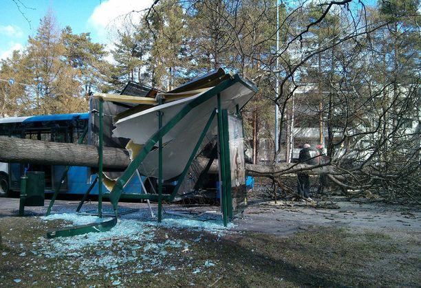 Helsingin Kontulassa suuri puu kaatui vaarallisesti bussipysäkin päälle.