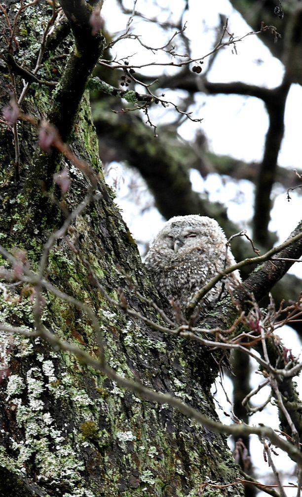Pöllönpoikien elämän alkutaival on vaaroja täynnä. Esimerkiksi kanahaukka voi napata poikasen.