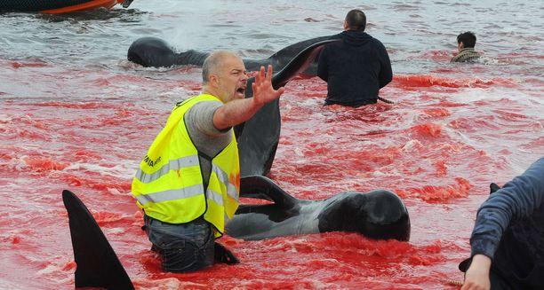 Raaka perinne värjää vuosittain Färsaarten rantavedet punaisiksi. Kuvassa pallopäävalasparven teurastusta vuonna 2017.
