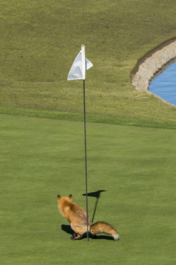 Kettu golfkentällä.