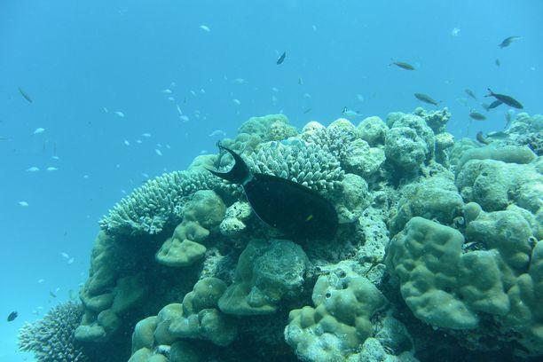 Sukellus on suosittua puuhaa Malediiveilla. Veden alla riittää ihmeteltävää.