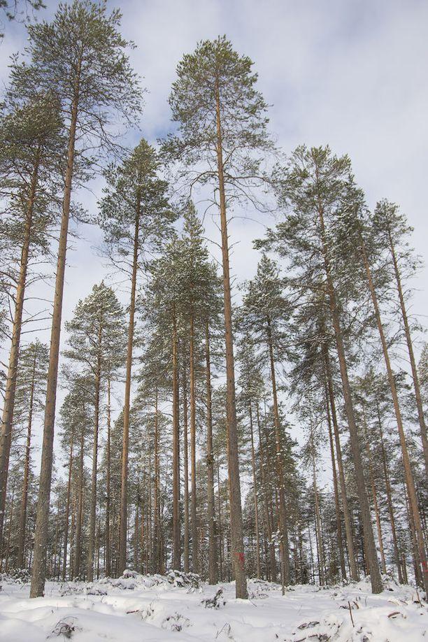 Greenpeacen mukaan saaren metsä on pilattu täysin.