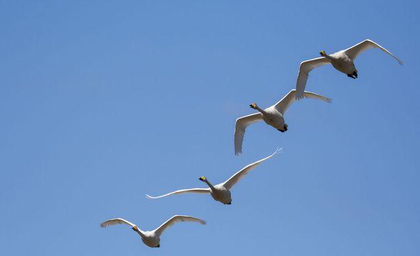 Kansallislinnutkin näyttivät riemuitsevan lämpenevästä kevätsäästä. Laulujoutsenet lensivät Kempeleessä, joka oli keskiviikkona maan lämpimintä seutua.