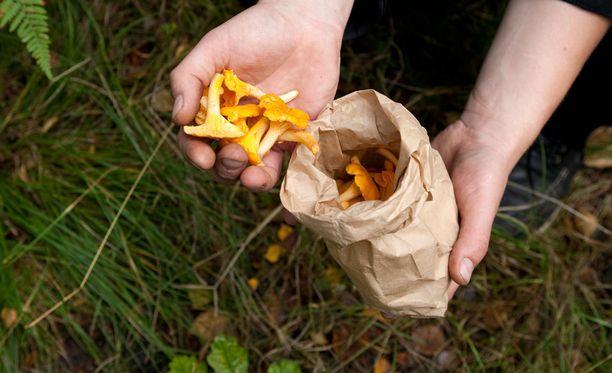 Muun muassa kantarelleja löytyy metsistä jo jonkin verran.