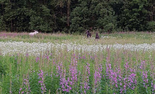 Kaikkiaan niityllä oli kolme hirveä, joista kahdella oli perinteinen ruskea karvapeite.