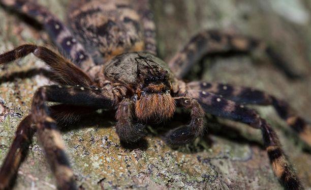 Jahtihämähäkit ovat isoja, mutta ne ovat yleensä ihmiselle vaarattomia.