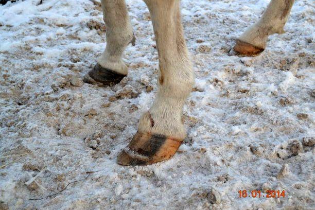 Hevosten kaviot olivat päässeet liian pitkiksi.