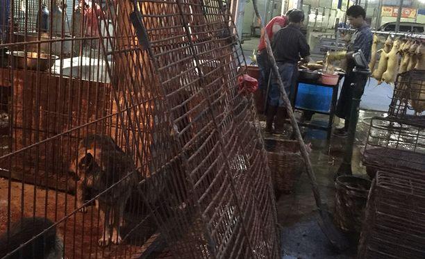 Koiria pidetään ennen teurastusta ala-arvoisissa olosuhteissa.