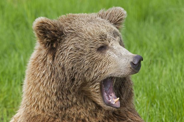Ruotsissa on keksitty kesäkäyttöä karhujen talvipesille.