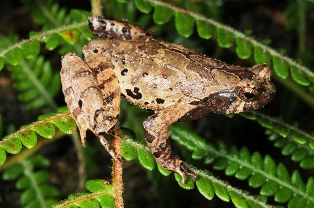 Kuvassa uusi sammakkolaji Thiasmia nigricoronata.