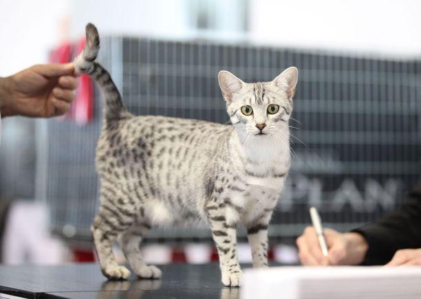Nykyiset maut ovat peräisin 1950-luvulla Egyptistä Italiaan ja siitä edelleen Yhdysvaltoihin viedyistä kissoista. Geenipohjaa on pyritty laajentamaan Egyptistä myöhemmin tuoduilla kissoilla. Ensimmäinen mau tuotiin Suomeen 1990-luvulla. Ensimmäinen maupentu syntyi Suomessa kuitenkin vasta vuonna 2006.