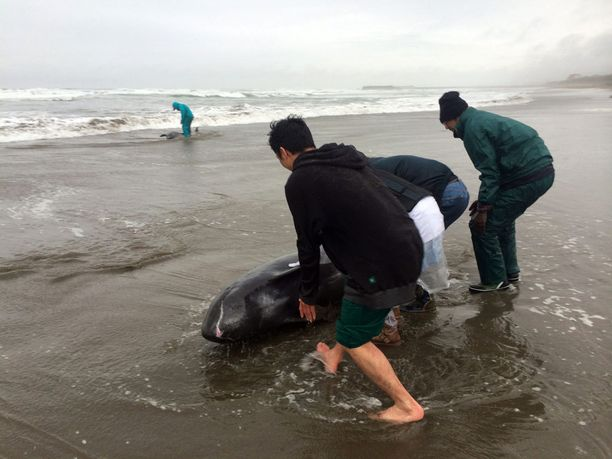 Paikalliset yrittivät auttaa delfiinejä matalikkoon - turhaan.
